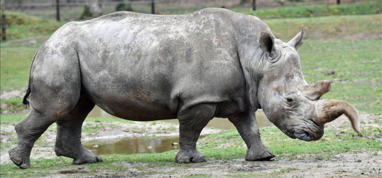 Horn of Last Male White Rhino Did Nothing for My Libido